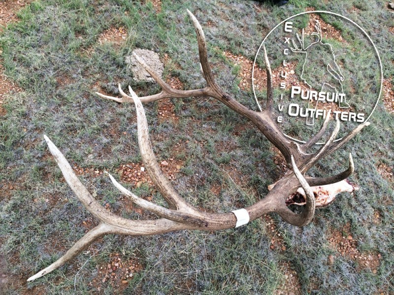 The right side view of a 400 inch Arizona Unit 10 Archery Bull Elk taken with Exclusive Pursuit Outfitters.