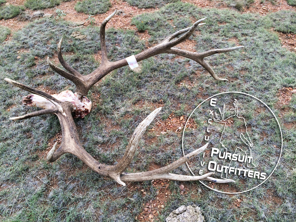 A giant Arizona Archery Bull Elk taken in 2014 with Exclusive Pursuit Outfitters.