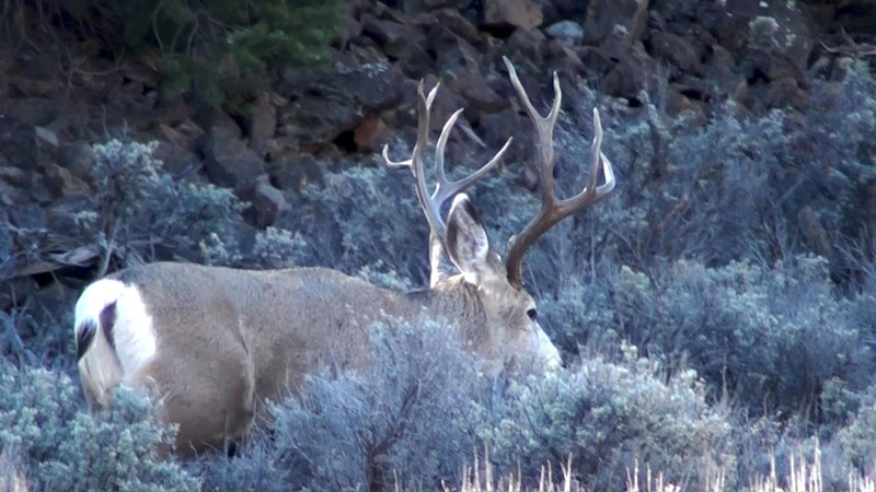 This cool young buck was all over the place.  We saw him almost 7 miles from where he was on this day later in the hunt.